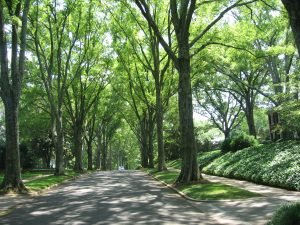 Myers Park Tree Lined Street